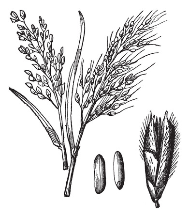 plantas medicinales: El arroz asiático o Oryza sativa o arroz, el grabado de época. Ilustración del Antiguo grabado de las variedades de arroz de Asia con sus frutos y granos aislados en un fondo blanco.