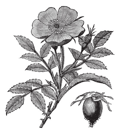 invasive: Sweet briar or Rosa rubiginosa or Eglantine Rose or R. eglanteria, vintage engraving. Old engraved illustration of Sweet briar isolated on a white background. Illustration
