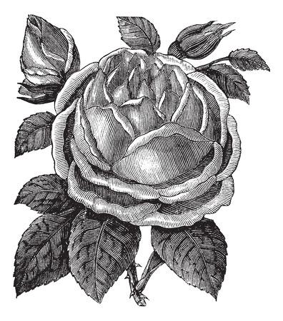 rosaceae: Rose Hazelnut or Rosa noisettiana or Blush Noisette, vintage engraving. Old engraved illustration of Rose Hazelnut isolated on a white background.