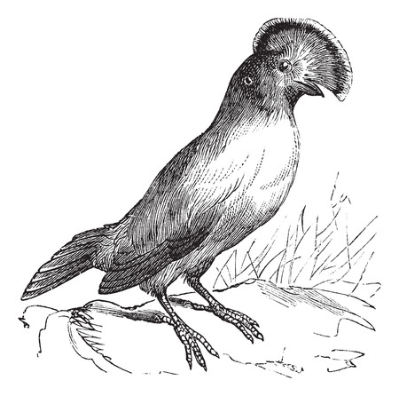 ancient bird: Guianan Cock-of-the-rock or Rupicola rupicola, vintage engraving. Old engraved illustration of Guianan Cock-of-the-rock male.