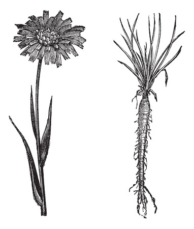 oyster plant: Goatsbeard or Tragopogon porrifolius or Salsify or Purple salsify or Common salsify or Oyster plant or Vegetable oyster, vintage engraving. Old engraved illustration of Goatsbeard flower (1) and root (2) isolated on a white background.