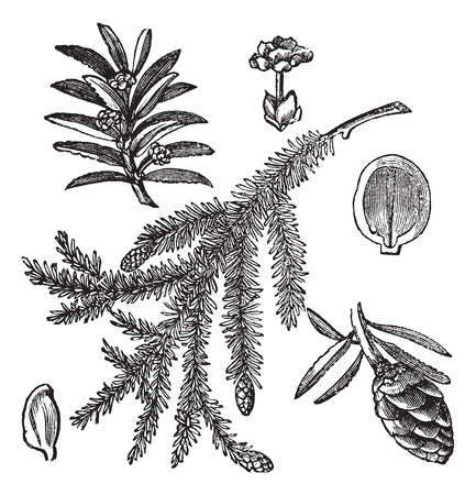 Canadian Hemlock or Tsuga canadensis or Eastern Hemlock, vintage engraving. Old engraved illustration of Canadian Hemlock isolated on a white background.