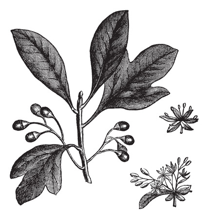 Sassafras or Sassafras albidum or White Sassafras or Red Sassafras or Silky Sassafras or Sassafras variifolium, vintage engraving. Old engraved illustration of Sassafras with leaves and fruit isolated on a white background. Çizim