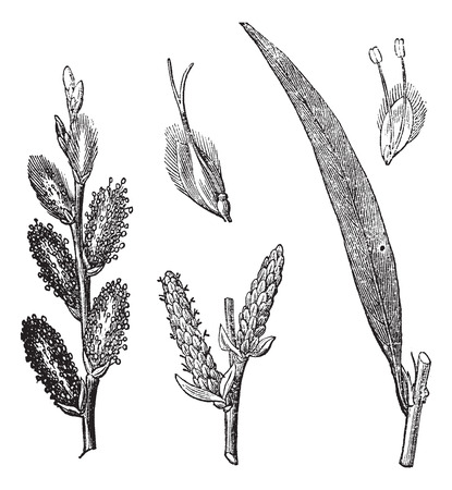 dioecious: Common Osier or Salix viminalis or Osier or Basket willow, vintage engraving. Old engraved illustration of Common Osier with male and female flowers isolated on a white background.
