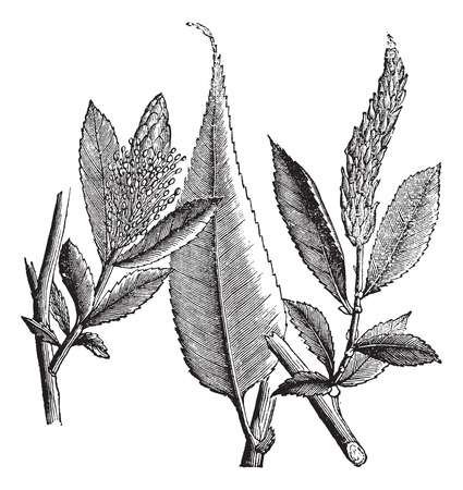 dioecious: Shining Willow or Salix lucida or Pacific Willow or Whiplash Willow, vintage engraving. Old engraved illustration of Shining Willow isolated on a white background.