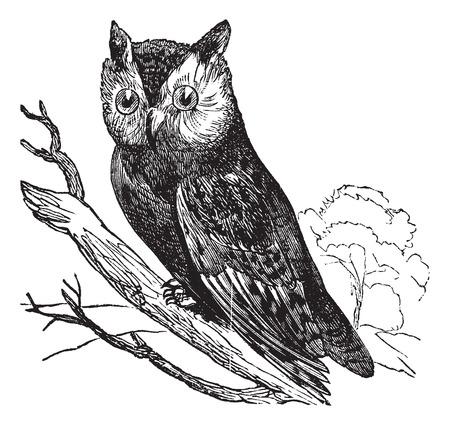owl illustration: Scops of America (Scops asio) or American owl, vintage engraved illustration.Trousset encyclopedia (1886 - 1891).