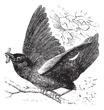eastern: Eastern bluebird or Sialia sialis, vintage engraving.