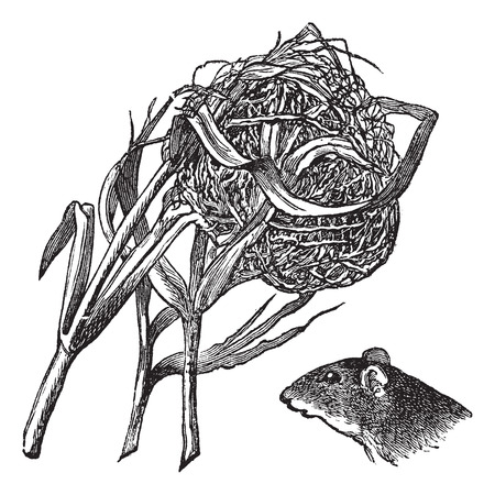 Nest and the head of harvest mouse, vintage engraving. Old engraved illustration of nest and the head of harvest mouse isolated on a white background.
