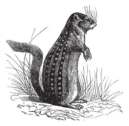 ground: Thirteen-lined ground squirrel Illustration