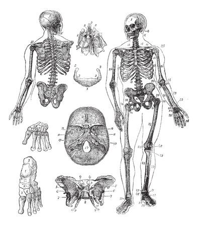 partes del cuerpo humano: Esqueleto humano, el grabado de época. Ilustración del Antiguo grabado del esqueleto humano desde el frente y la espalda con sus partes funcionales y sus nombres.