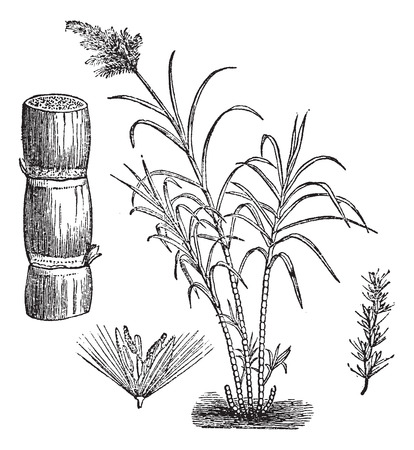 sugarcane: Sugar Cane, vintage engraved illustration Illustration