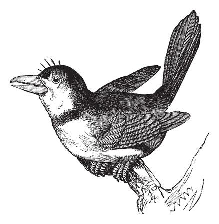 perched: Puffbird (Bucco macrorhynchus), vintage engraved illustration. Trousset encyclopedia (1886 - 1891).