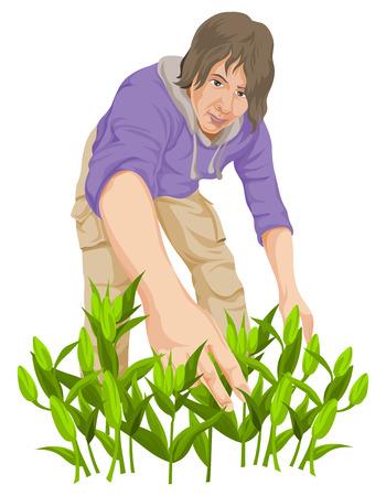 plucking: Vector illustration of man plucking vegetables in farm.