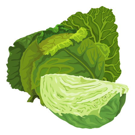 Illustration of raw green cabbage.