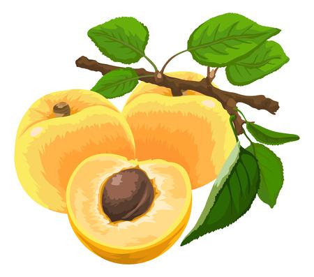 Illustration of fresh apricot on stem.