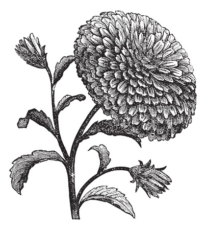 aster: Double China Aster or Callistephus chinensis vintage engraving. Old engraved illustration of a China Aster. Illustration