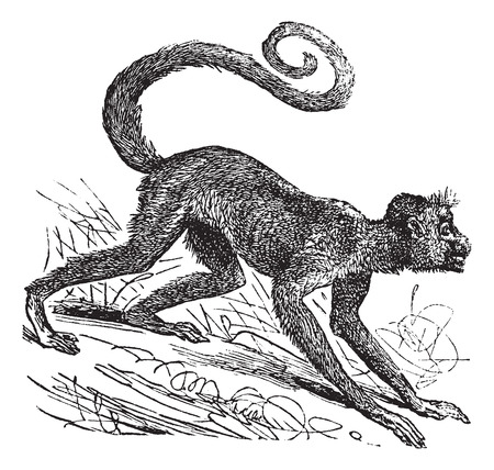 Ateles paniscus, Red-faced spider monkey, Guiana spider monkey or Red-faced black spider monkey. Vintage engraving. Old engraved illustration of a Red-faced spider monkey on his four legs Vector