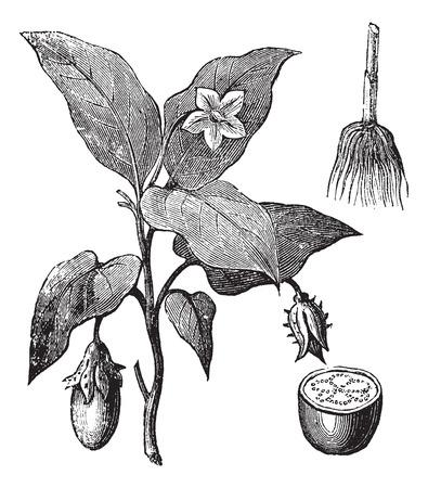 berenjena: Berenjena Solanum melongena o, grabado de época. Ilustración del Antiguo grabado de una planta de la berenjena que muestra las flores y las frutas (izquierda), la raíz (superior derecha) y sección de fruta (inferior derecha). Vectores