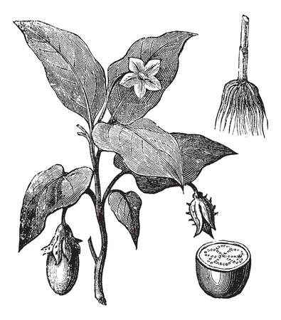 Eggplant or Solanum melongena, vintage engraving. Old engraved illustration of an eggplant plant showing flowers and fruit (left), root (upper right) and fruit cross-section (lower right). Vector