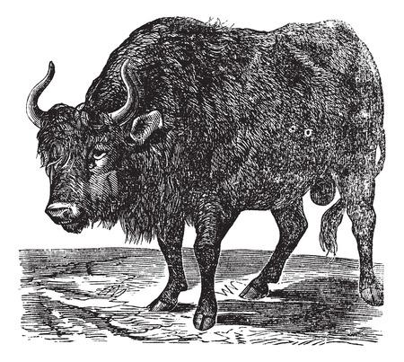 アメリカ bison は、バイソンやアメリカのバッファロー。ビンテージの彫刻。旧図は北アメリカで発見、アメリカのバッファローの刻まれています。