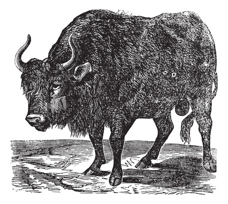 The American bison, Bison or American buffalo. Vintage engraving.Old engraved illustration of an American buffalo found in North America.