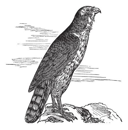 tailes: L'Astore, rotondo, falco, gentilis gheppio, Accipitridi, o Accipiter. Incisione Vintage. Old illustrazione incisa di un Astore trovano soprattutto in Marocco.