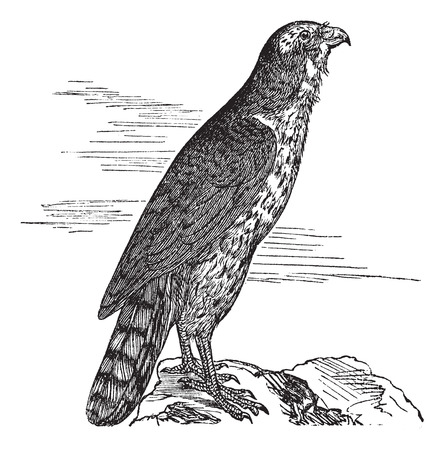 The Goshawk, round, hawk, kestrel, Accipitridae, or Accipiter gentilis. Vintage engraving. Old engraved illustration of a Northern Goshawk found mostly in Morocco.