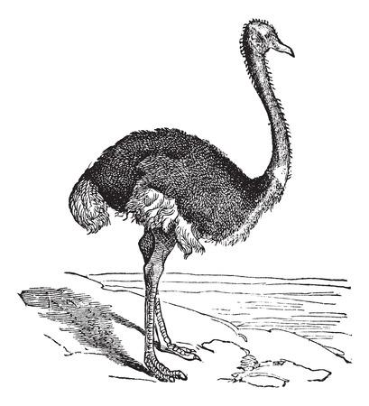 buff: El camelus avestruz o Struthio. Grabado de la vendimia. Ilustraci�n del Antiguo grabado de un avestruz. Un gran p�jaro flightless a �frica.