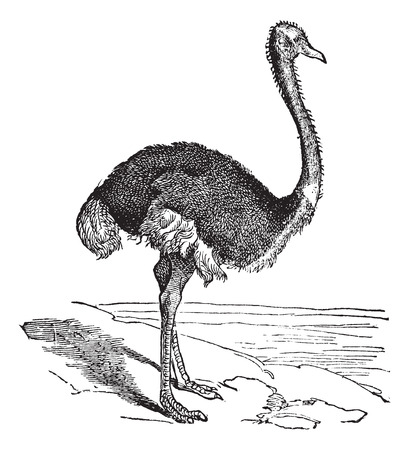 flightless: The Ostrich or Struthio camelus. Vintage engraving. Old engraved illustration of an Ostrich. A large flightless bird native to Africa.