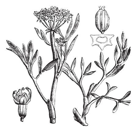 fleshy: Samphire or rock samphire or Crithmum maritimum, vintage engraving. Old engraved illustration of samphire plant showing flowers and seed pod (upper right). Illustration