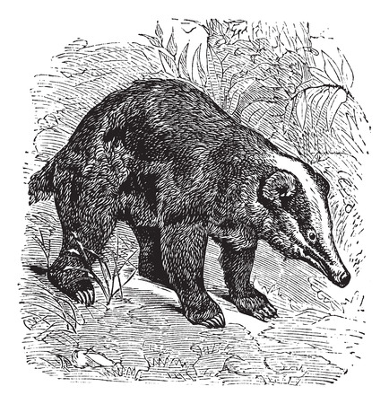 The Hog Badger, Arctonyx  or Arctonyx collaris. Vintage engraving. Old engraved illustration of a Hog Badger found in Southeast Asian tropical rainforests. Ilustracja