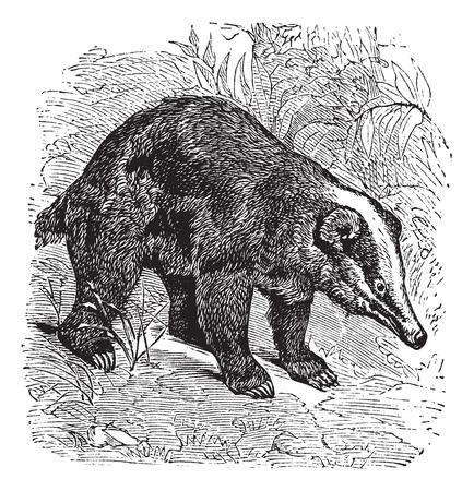 hog: The Hog Badger, Arctonyx  or Arctonyx collaris. Vintage engraving. Old engraved illustration of a Hog Badger found in Southeast Asian tropical rainforests. Illustration