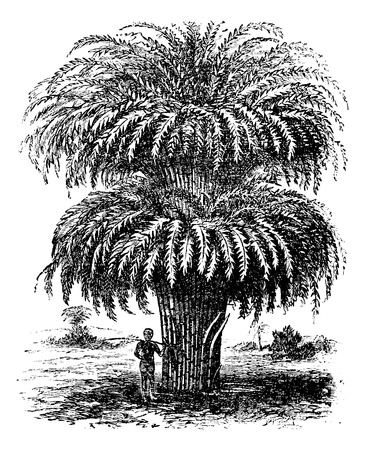garden furniture: Bamboo or Bambusoideae or Bambuseae, vintage engraving. Old engraved illustration of a Bamboo tree. Illustration