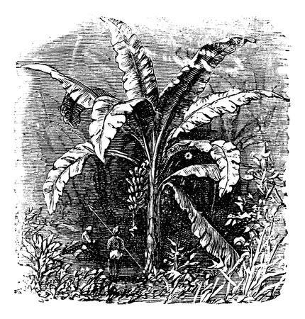 an inflorescence: Banana tree or Musa acuminata, Musa balbisiana., vintage engraving. Old engraved illustration of a Banana plant showing fruit and inflorescence.
