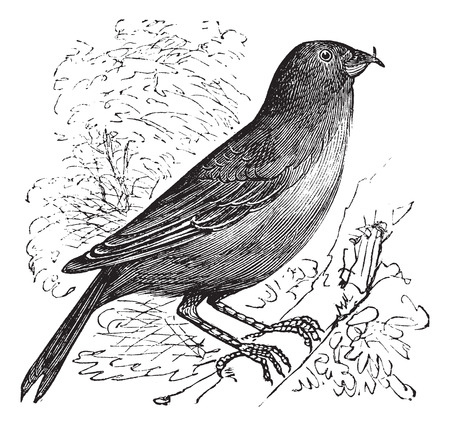 passerine: The Common Crossbill , Red Crossbill or Loxia curvirostra. Vintage engraving. Old engraved illustration of a Common Crossbill bird in the spruce forests of North America.