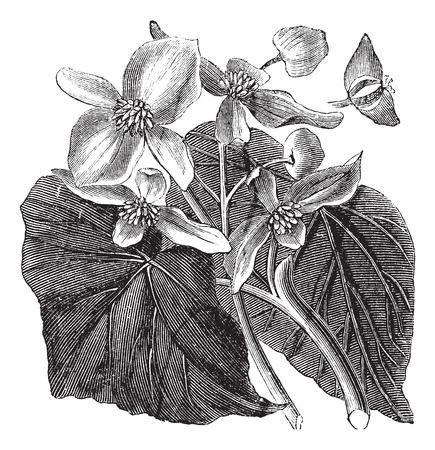 tuberous: Begonia also known as Begoniaceae flower, vintage engraved illustration of Begonia flower. Illustration
