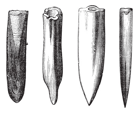 acute: Belemnite Fossils, vintage engraving. Old engraved illustration of Belemnite Fossils showing various shapes of the guard (rear end) part of the organism:  (left to right) moderately acute, mucronate, acute, very acute.