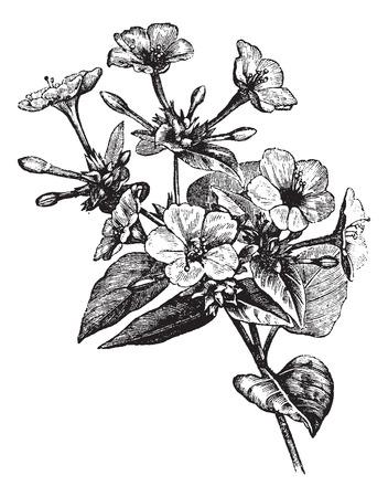 """reloj antiguo: Cuatro o 'flor o Marvel de Perú o Mirabilis jalapa, grabado de la vendimia del reloj. Ilustración del Antiguo grabado de una """"planta Reloj Floral Cuatro o. Vectores"""