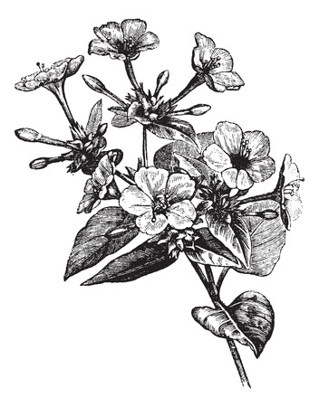 marvel: Vier-Uhr-Blumen oder Marvel von Peru oder Mirabilis Jalapa, Vintage-Gravur. Alt eingraviert Darstellung eines Vier-Uhr-Blumen-Anlage.