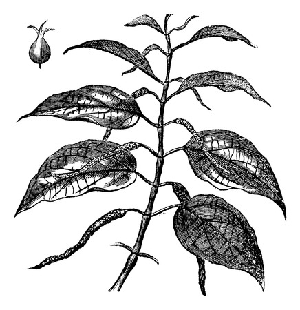 piperaceae: Betel also known as Piper betle, leaves, vintage engraved illustration of Betel leaves. Illustration