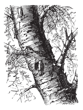 plantae: White Birch also known as Betula papyrifera, tree, trunk, vintage engraved illustration of White Birch, tree, trunk isolated on a white background.