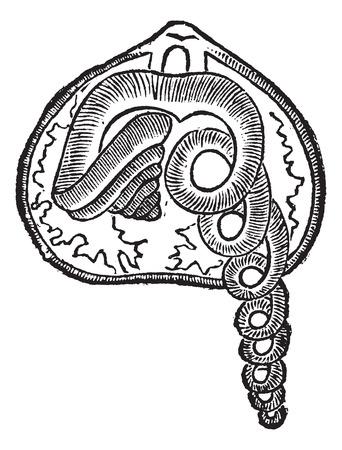 pedicle: Brachiopod, marine, animal, vintage engraved illustration of Brachiopod, animal.