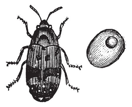 Bruchus pisorum, pea weevil, bean weevil or seed beetle vintage engraving. Old engraved illustration of pea weevil found in peas and bean seeds. Stock Illustratie
