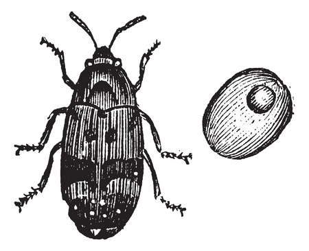 Bruchus pisorum, pea weevil, bean weevil or seed beetle vintage engraving. Old engraved illustration of pea weevil found in peas and bean seeds. Illustration