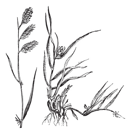 dioecious: Bouteloua dactyloides also known as  Buffalograss, grass, (left) male, (right) female, vintage engraved illustration of male and female, Buffalograss isolated against a white background. Illustration