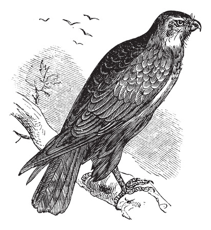 buzzard: Buteo buteo known as Common Buzzard, raptor, vintage engraved illustration of Buteo buteo, raptor.