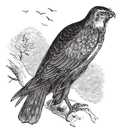 chordata: Buteo buteo known as Common Buzzard, raptor, vintage engraved illustration of Buteo buteo, raptor.
