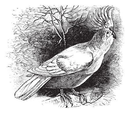 watchful: Major Mitchells Cockatoo also known as Lophochroa leadbeateri, vintage engraved illustration of Major Mitchells Cockatoo.