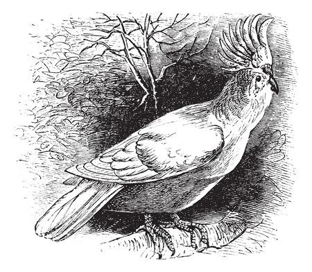 cockatoo: Major Mitchells Cockatoo also known as Lophochroa leadbeateri, vintage engraved illustration of Major Mitchells Cockatoo.