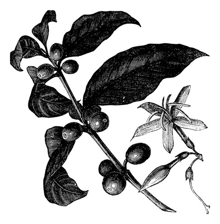 botanical: Coffea, or Coffee shrub and fruits, vintage engraving. Vintage engraved illustration of Coffee, seed, fruit and flower isolated against a white background.